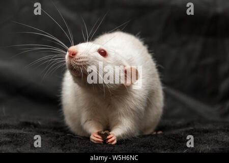 Domestic white rat with red eyes holding food in its paws against a black background. - Stock Photo