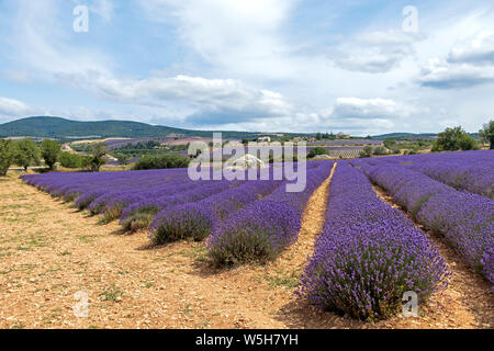 Lavender fields at mountainous, late-blooming location. One of the summer Must-Sees in Provence, France - Stock Photo