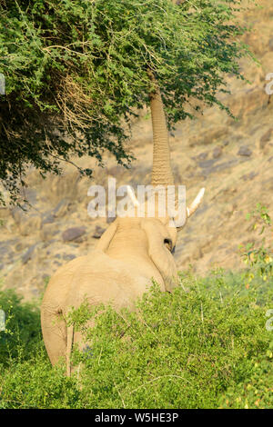 African Elephant, Desert-adapted Elephant (Loxodonta africana) bull eating leaves and twigs of acacia tree, Hoanib desert, Kaokoland, Namibia - Stock Photo