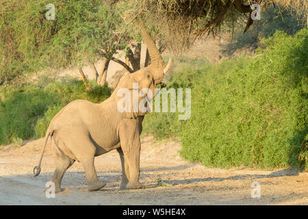 African Elephant, Desert-adapted Elephant (Loxodonta africana) eating leaves and twigs of acacia tree, Kaokoland, Hoanib desert, Namibia - Stock Photo