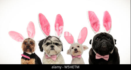 team of four cute little dogs wearing bunny ears for easter, on white background - Stock Photo