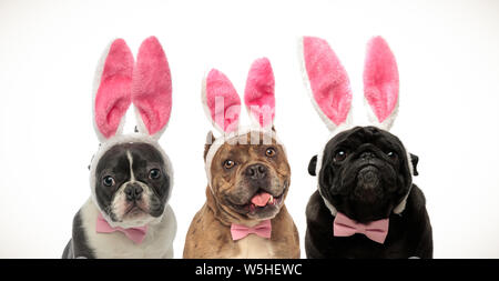 three adorable little dogs wearing bunny ears for easter on white background - Stock Photo