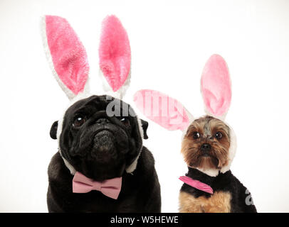 two funny looking dogs wearing easter bunny ears on white abckground - Stock Photo