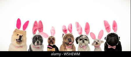many cute easter dogs wearing pink rabbit ears on white background - Stock Photo