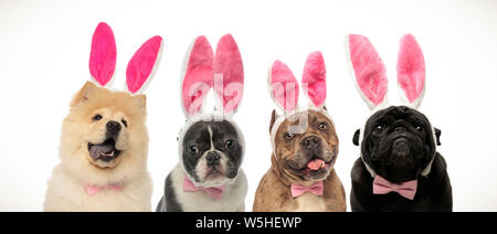 cute elegant dogs wearing bunny ears and bow ties as easter costume on white background - Stock Photo