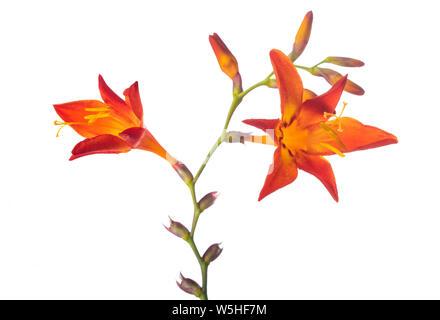 Montbretia flowers ( Crocosmia aurea ) isolated on white background - Stock Photo