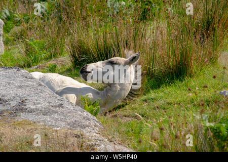 Wild Foal on Bodmin Moor - Stock Photo