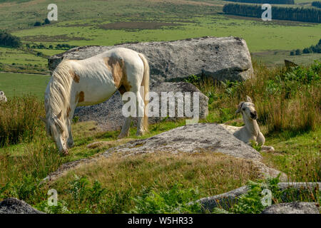 wild Young Foal and mother on moorland - Stock Photo