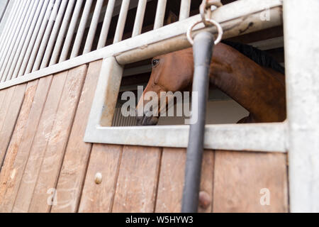 A horse (Westphalian) in the horse box. View from outside through the feed hatch. - Stock Photo
