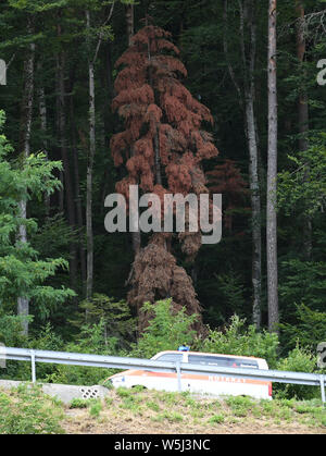 Waldshut Tiengen, Germany. 29th July, 2019. An ambulance vehicle drives past a dead fir tree. Forest Minister Peter Hauk (CDU) has called on forest owners to step up the fight against the bark beetle. They would now have to check their heat-damaged forests on a weekly basis. Credit: Patrick Seeger/dpa/Alamy Live News - Stock Photo