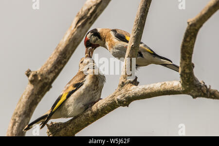 Goldfinch, wild birds in a British Garden, perched on a branch in spring summer 2019. - Stock Photo