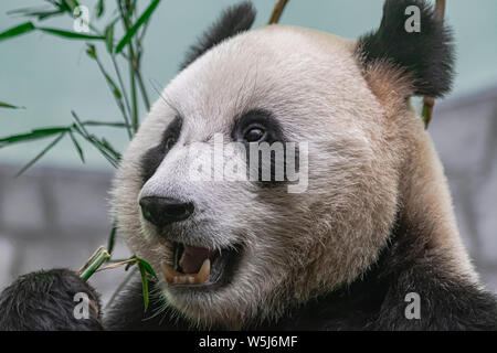 giant panda (Ailuropoda melanoleuca), head portrait, eating bamboo - Stock Photo