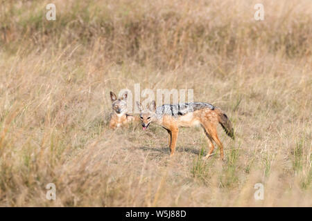 A pair of black-backed jackals, Canis mesomelas, in the long grass of the Masai Mara, Kenya. - Stock Photo