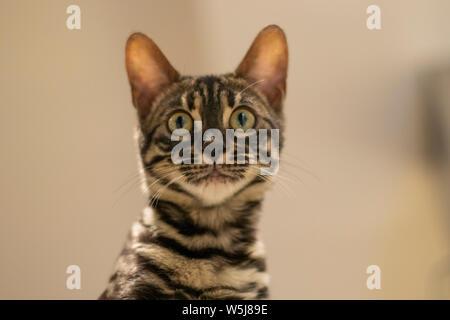 Beautiful bengala cub cat in its home