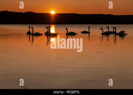 gang of swans at sunrise. Shadows and warm lights. Backlight. Silhouettes. Beautiful background. - Stock Photo