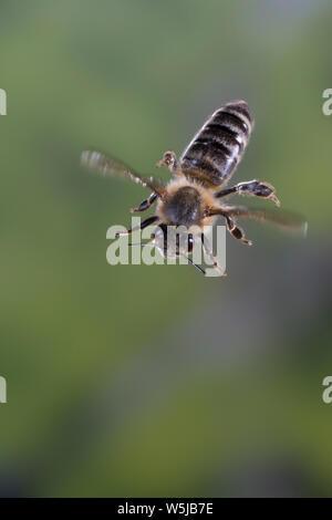 Honigbiene, Honig-Biene, Europäische Honigbiene, Westliche Honigbiene, Flug, fliegend, Biene, Bienen, Apis mellifera, Apis mellifica, honey bee, hive - Stock Photo