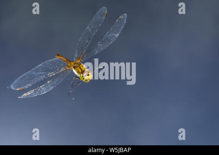 Blutrote Heidelibelle, Weibchen, Flug, fliegend, Sympetrum sanguineum, ruddy sympetrum, Ruddy Darter, female, flight, flying, Sympétrum sanguin - Stock Photo