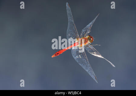 Blutrote Heidelibelle, Männchen, Flug, fliegend, Sympetrum sanguineum, ruddy sympetrum, Ruddy Darter, male, flight, flying, Sympétrum sanguin - Stock Photo