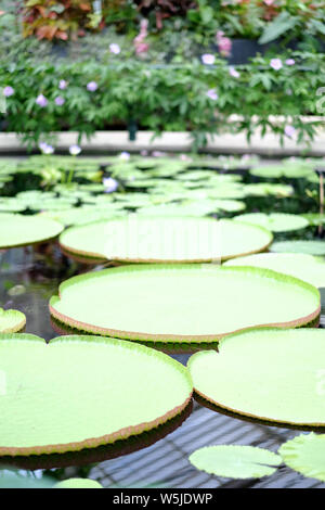 Huge round leaves of tropical lilies on the surface of the reservoir in the botanical garden - Stock Photo