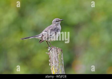 Northern Mockingbird (Mimus polyglottos) perched on fence post  Marshall's Pen, Jamaica               November - Stock Photo