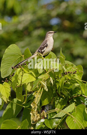 Northern Mockingbird (Mimus polyglottos) adult perched in top of fruiting bush  Linstead, Jamaica               November - Stock Photo
