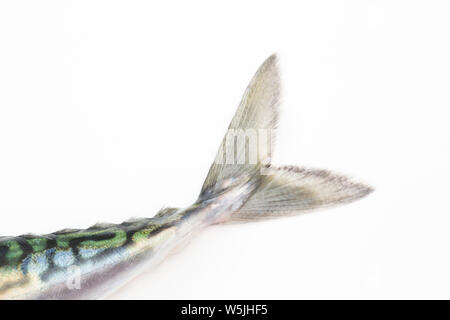 The tail of a single, raw mackerel, Scomber scombrus, that was caught on rod and line from a boat in the English Channel. White background. Dorset Eng - Stock Photo