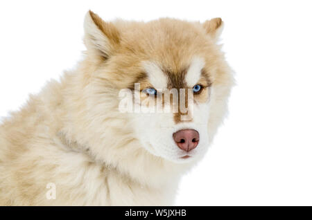 One Siberian Husky dog with blue eyes looks around. Close up Husky breed portrait. Husky dog has brown and white fur color. Isolated white background - Stock Photo