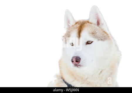 One Siberian Husky dog with blue eyes. Close up Husky breed portrait. Husky dog has brown and white fur color. Isolated white background for design. - Stock Photo
