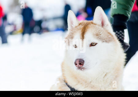 One Siberian Husky dog with blue eyes looks around. Close up Husky breed portrait. Husky dog has brown and white fur color. - Stock Photo