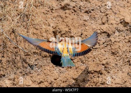European Bee-eater or Merops apiaster on ground near hole nest. - Stock Photo