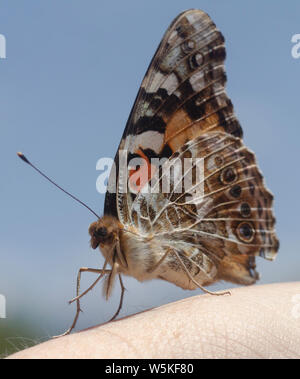 Painted Lady Butterfly rests on human hand and grooms itself - Stock Photo