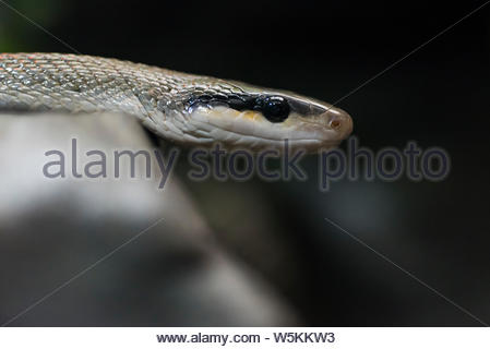 Close up of a Taiwan beauty snake. - Stock Photo