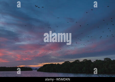 Fox bat flying in the sunset sky. Island flying fox or variable flying fox (Pteropus hypomelanus). Bats Leave Kalong Island for mainland every night i - Stock Photo