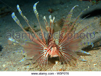 Common lionfish (Pterois volitans), swimming over sand, Sabang Beach, Mindoro, Philippines - Stock Photo
