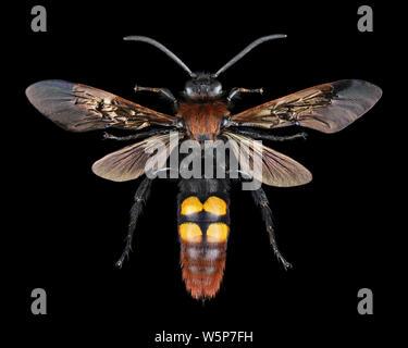 Extreme magnification - Megascolia maculata giant wasp - Stock Photo