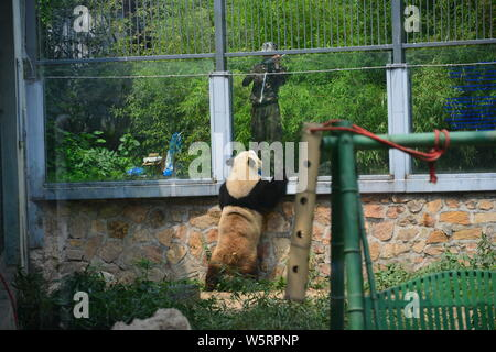 The giant panda Meng Lan interacts with a worker at the Beijing zoo in Beijing, China, 17 June 2019. - Stock Photo