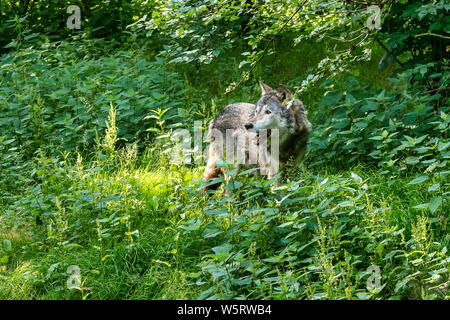 The wolf, Canis lupus, also known as the grey wolf or timber wolf is a canine native to the wilderness and remote areas of Eurasia and North America. - Stock Photo