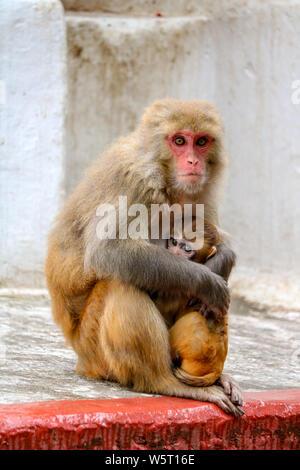 Macaque monkey mother with baby, monkey temple, Kathmandu, Nepal - Stock Photo