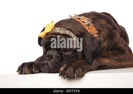 close up of cute boxer with leopard print headband lying on white background. It wears a brown spiked collar and looks a little sad - Stock Photo