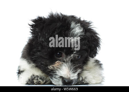 sad little bichon havanese lying down looks at the floor on a white background - Stock Photo