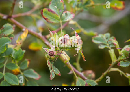 Briar rose (Rosa canina), Hundsrose - Stock Photo