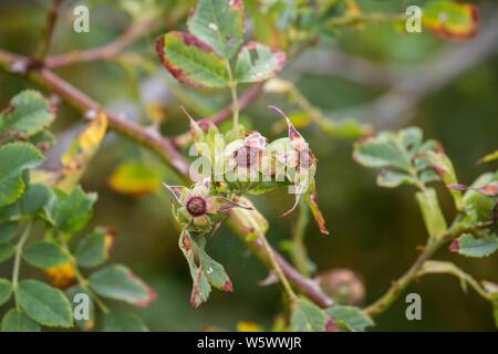 Briar rose (Rosa canina), Hundsrose - Stock Photo
