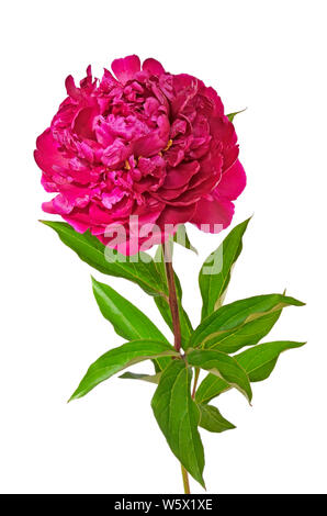Red peony flower isolated on white background