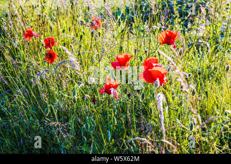 Backlit poppies (Papaver rhoeas) in the summer countryside. - Stock Photo
