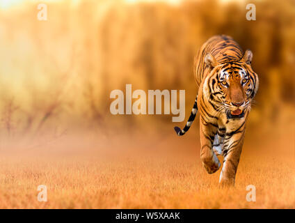 Tiger, walking in the golden light Is a wild animal hunting Summer in hot, dry areas and beautiful tiger structures - Stock Photo