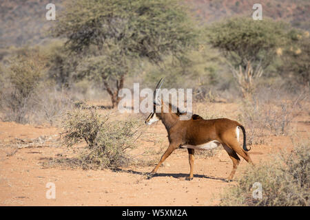 Portrait of a rare female sable antelope (Hippotragus niger). Okonjima, Namibia. - Stock Photo