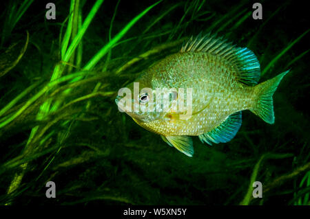Pumpkinseed underwater in the St. Lawrence River - Stock Photo