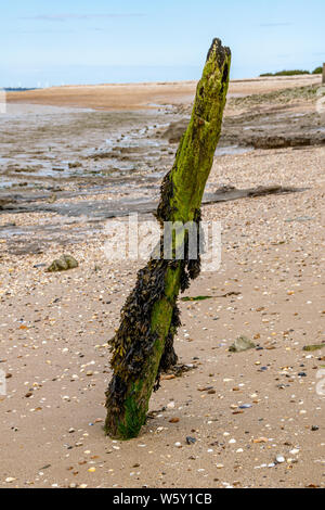 Bladderwrack and Gutweed (Ulva intestinalis) seaweed seagrass over a coastal rock - Stock Photo