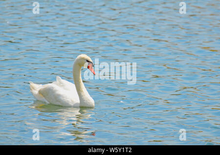 Elegant white mute swan on turquoise rippled water with bright orange bill or beak bordered with black, long creamy neck and detailed feathers. - Stock Photo
