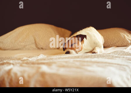 Cute dog sleeping and resting in human bed at sunny morning - Stock Photo